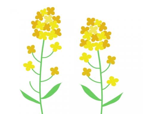 菜の花が2つ並んでいるイラスト 無料イラストのimt 商用ok加工ok