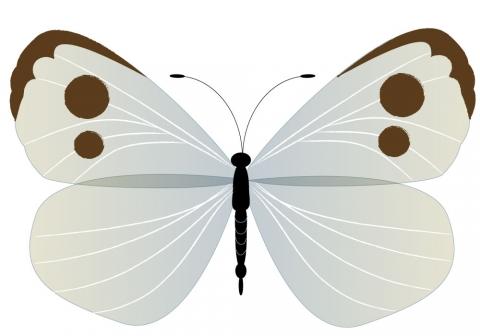 モンシロチョウの画像 p1_1